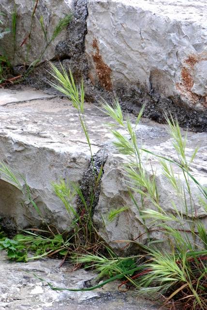 Compact Brome (Anisantha madritensis)