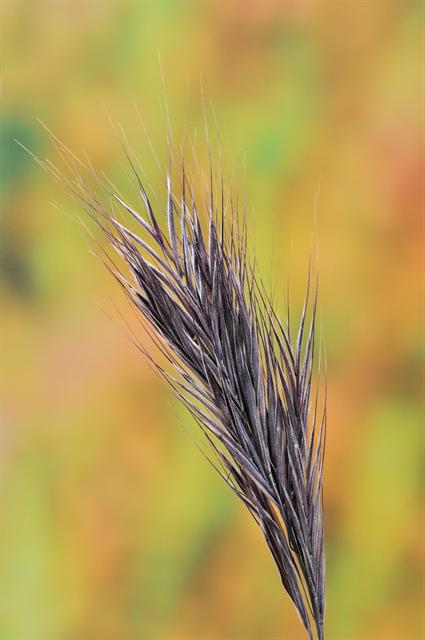 Foxtail Brome (Anisantha rubens)