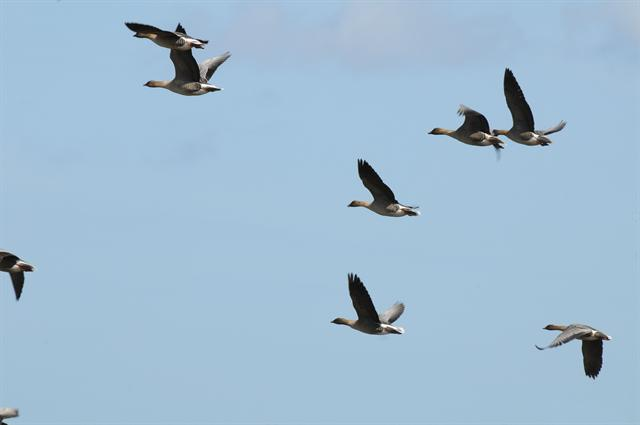 Pink-footed Goose (Anser brachyrhynchus)