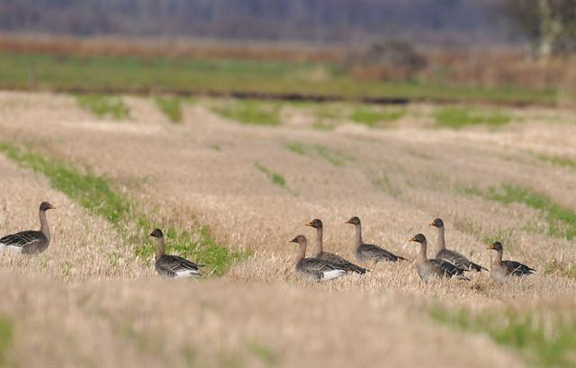 Tundra Bean Goose (Anser fabalis rossicus)