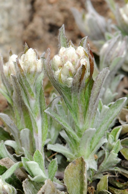 Alpine Cat´s-foot (Antennaria alpina var. alpina)