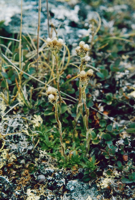 Porsilds Cat ´s-foot (Antennaria porsildii)