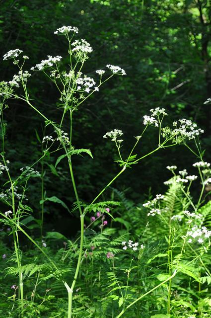 Cow Parsley (Anthriscus sylvestris)