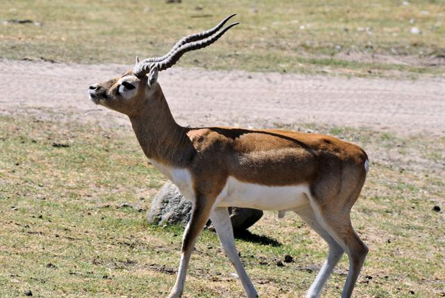 Blackbuck (Antilope cervicapra)