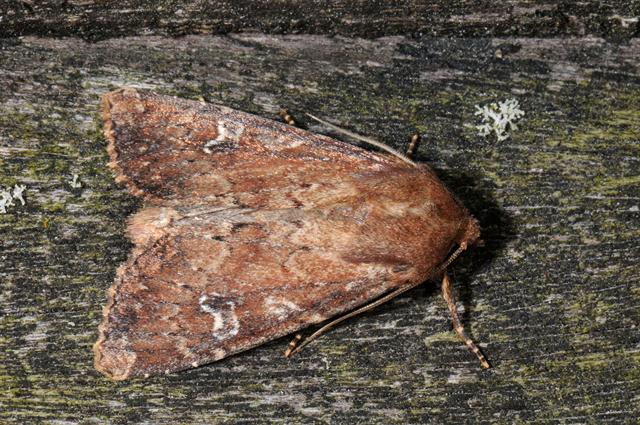 Scarce Brindle (Apamea lateritia)