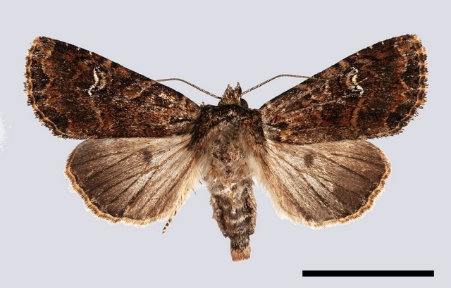 Small Clouded Brindle (Apamea unanimis)