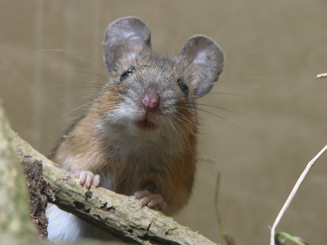 Yellow-necked mouse (Apodemus flavicollis)