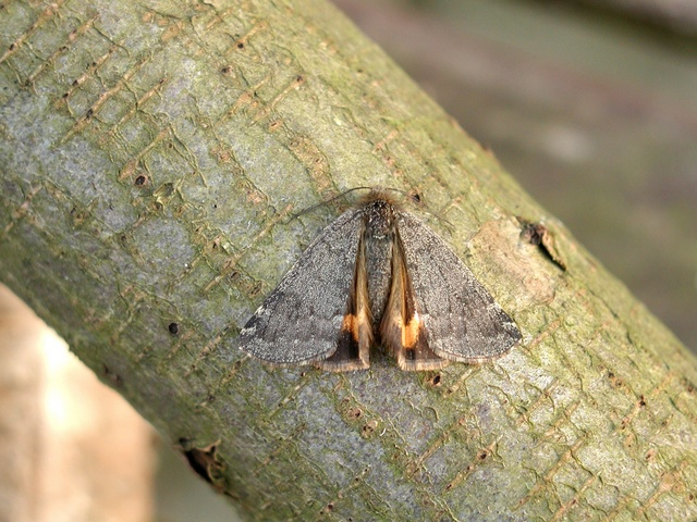 Light Orange Underwing (Archiearis notha)