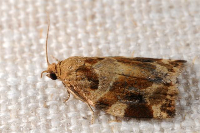 brown oak tortrix (Archips xylosteana)