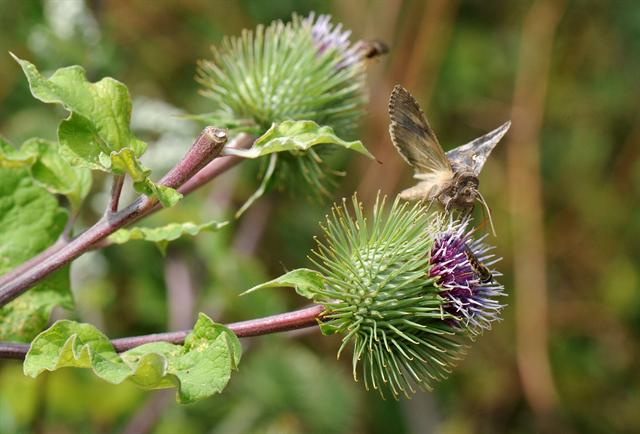 Greater Burdock (Arctium lappa)