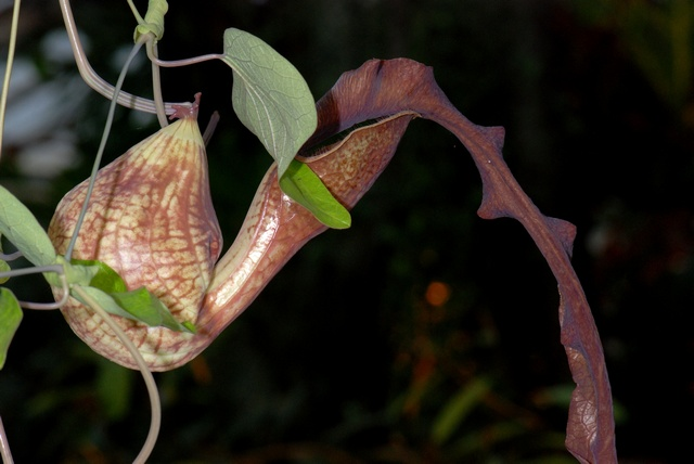 Calico flower, Dutchman´s pipe (Aristolochia elegans)