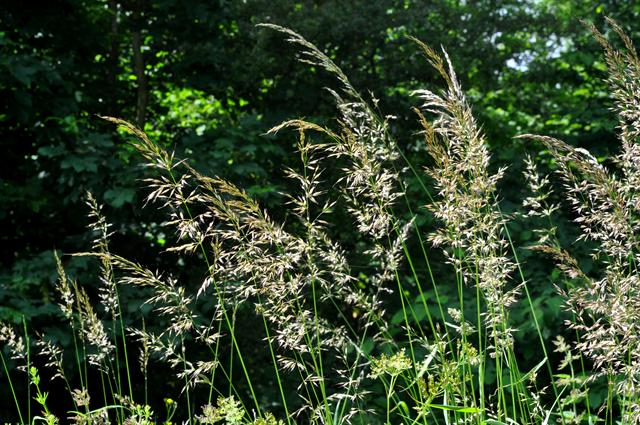 False Oat-Grass (Arrhenatherum elatius)