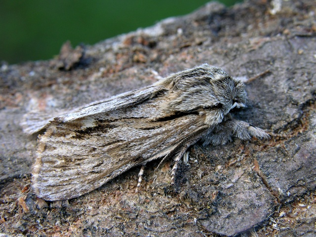 The Sprawler (Asteroscopus sphinx)