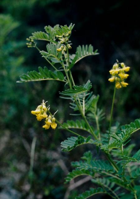 Astragalus penduliflorus image