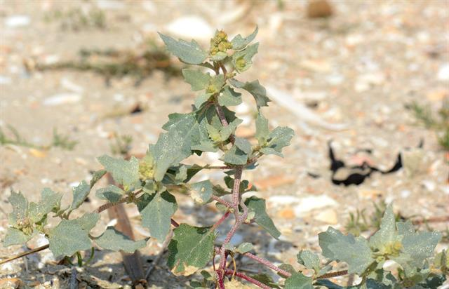 Frosted Orache (Atriplex laciniata)