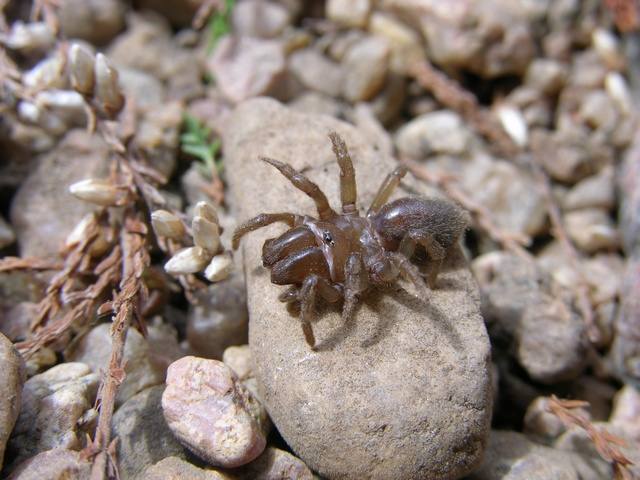 Purseweb Spider (Atypus affinis)