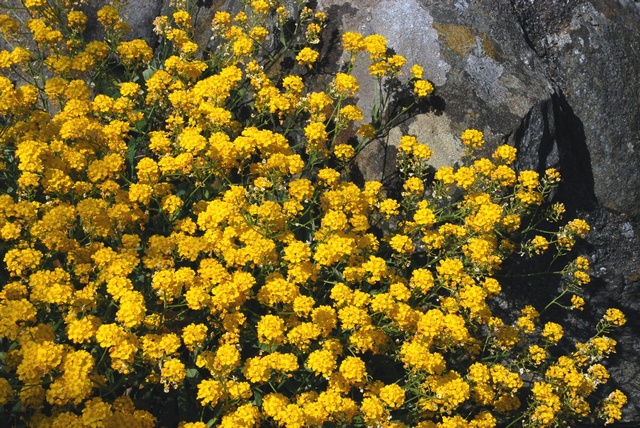 Golden Alyssum, Yellow Alyssum (Aurinia saxatilis)