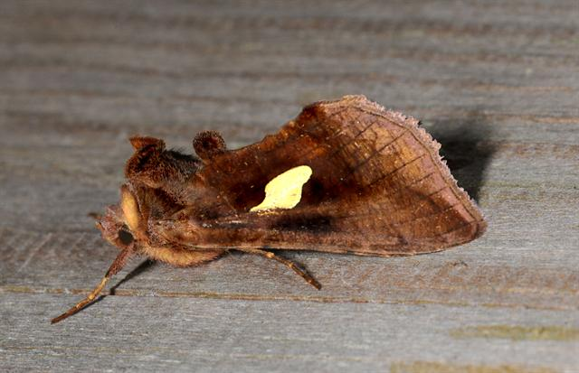 Gold Spangle (Autographa bractea)