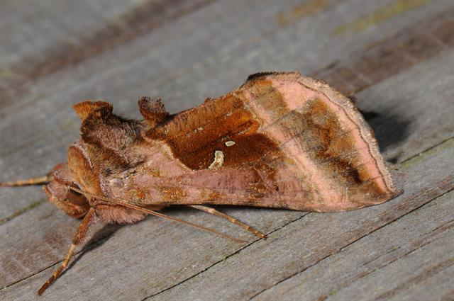 Plain Golden Y (Autographa jota)