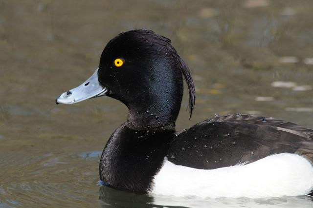 Tufted Duck (Aythya fuligula)