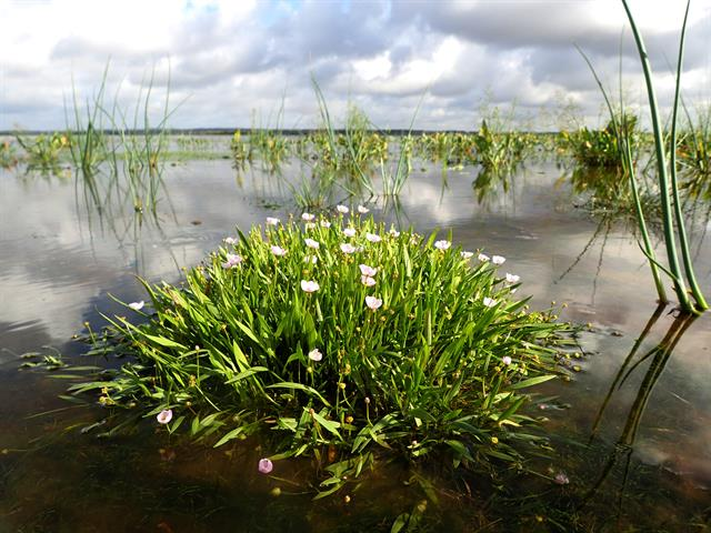 Creeping Water-plantain (Baldellia repens)