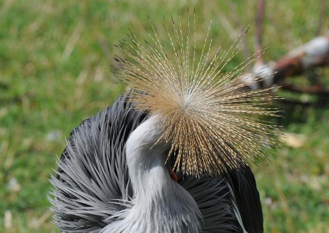 Gray Crowned Crane (Balearica regulorum gibbericeps)