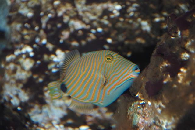 Undulate Triggerfish  Redlined Triggerfish  Balistapus undulatus Undulate Triggerfish