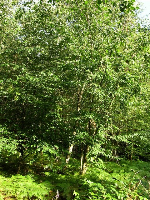 Sweet birch (Betula lenta)