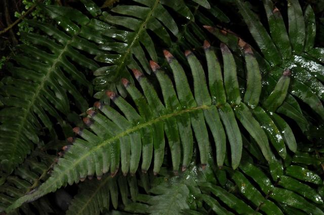 Blechnaceae image