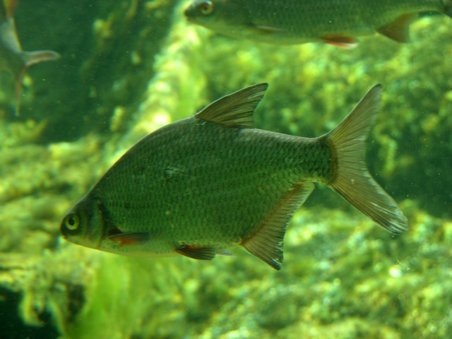 Silver bream, White bream (Blicca bjoerkna)