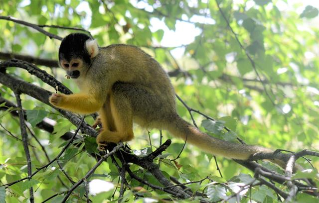 Black-capped Squirrel Monkey (Boliviensis boliviensis)