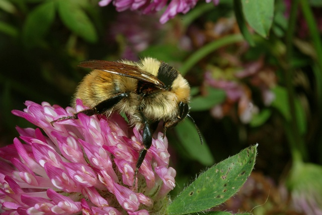 Great Yellow Bumblebee (Bombus distinguendus)