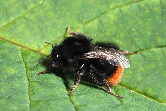 Bombus lapidarius photo