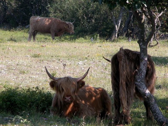Cattle (Scottish Higland) (Bos taurus (Skotsk hoejlandskvaeg))