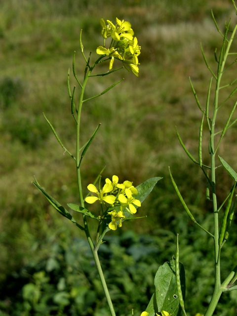 Brassica juncea image