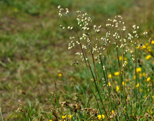 Quaking-Grass (Briza media)