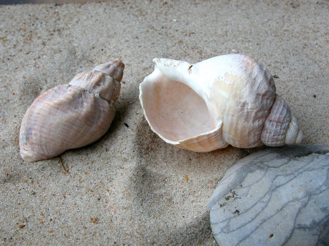 Common Whelk- Large Whelk (Buccinum undatum)