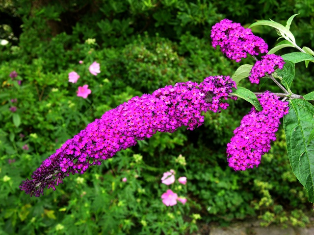 Butterfly-bush - Buddleia (Buddleja davidii)