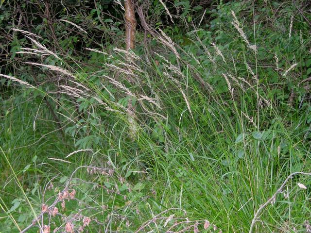 Calamagrostis arundinacea photo biopix jc schou