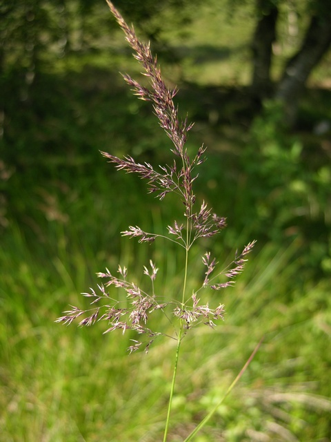 Purple Small-Reed (Calamagrostis canescens)