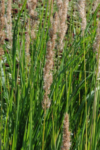 Narrow Small-Reed (Calamagrostis stricta)