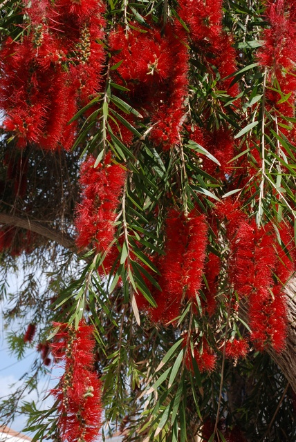 Bottlebrush (Callistemon speciosus)