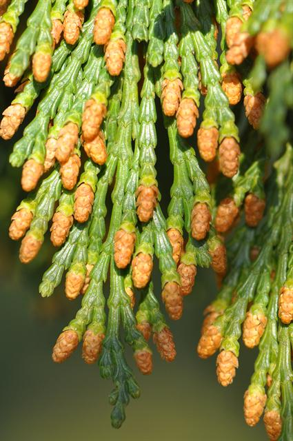 Incense cedar (Calocedrus decurrens)