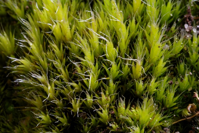 Heath Star-moss (Campylopus introflexus)