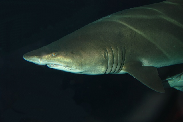 Sand tiger shark, Blue-nurse sand tiger (Carcharias taurus)