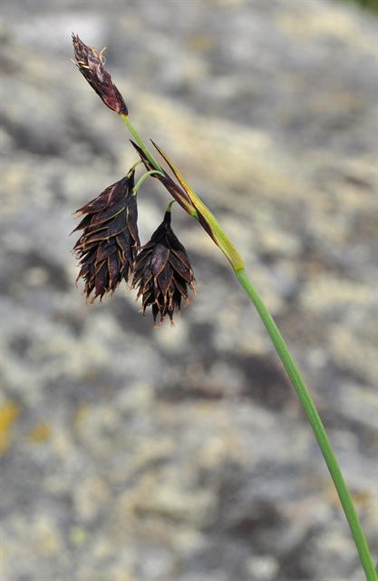 Scorched Alpine-Sedge (Carex atrofusca)