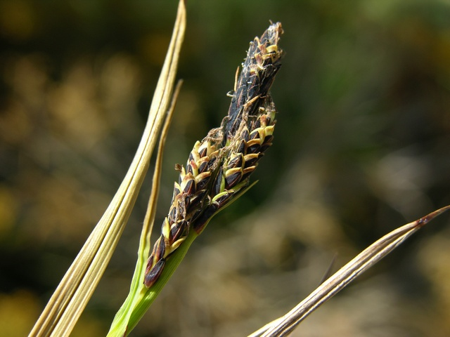 Stiff Sedge (Carex bigelowii)