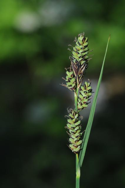 Club Sedge (Carex buxbaumii)