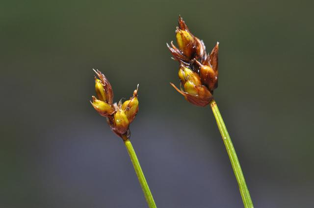 String Sedge (Carex chordorrhiza)