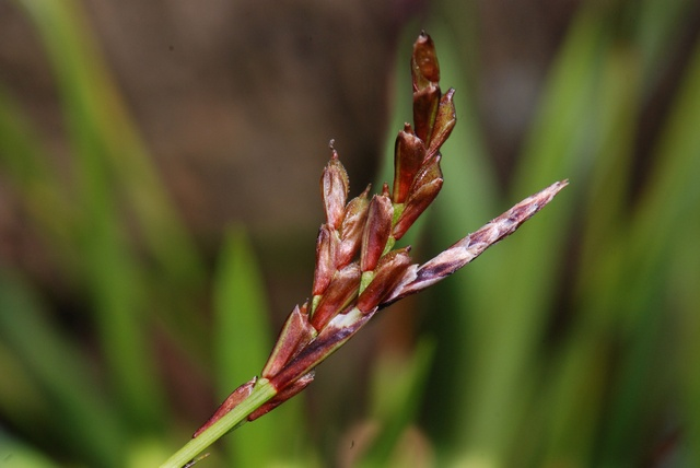 Fingered Sedge (Carex digitata)